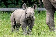Black Rhino Calf Standing Alert