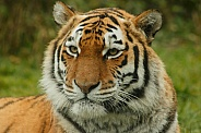 Face Shot Of Female Amur Tiger