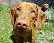 Female Vizsla