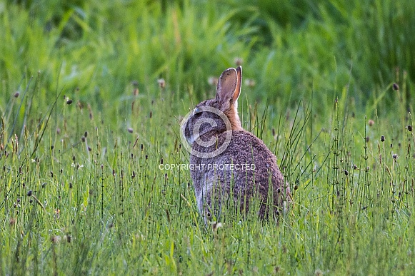 Wild european rabbit in the long grass