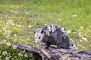 Opossum Mother and Joeys