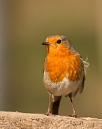 European Robin Portrait