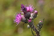 blooming spear thistle