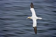 Gannet in flight - North Yorkshire coast - England