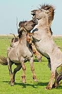 Wild Konik Stallions