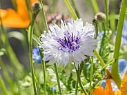 Cornflower or Bachelor Button Wildflower