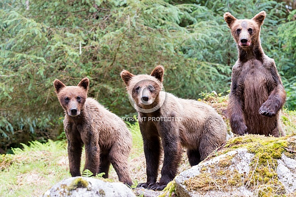 Triplet wild Grizzly bear cubs