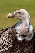 A Griffon Vulture