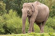 Asian Elephant Full Body Walking