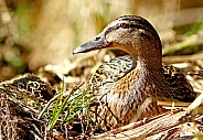 Female Mallard Portraite
