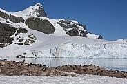 Gentoo penguin colony - Danko Island - Antarctica