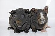 Guinea Pigs - 'Skinny Pigs' - 'Skinnies'