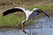 Yellow-billed Stork - Botswana