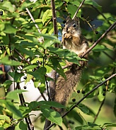 Tree Squirrel Eating a Berry