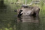 Cow Moose Feeding in a Pond