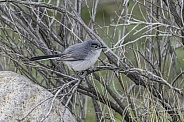Blue-gray Gnatcatcher Bird in Arizona