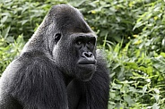 Western Lowland Gorilla Looking Serious