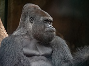 Western Plains Gorilla