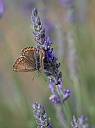 Commone Blue Butterfly On Lavender