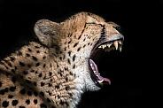 Cheetah. Jura