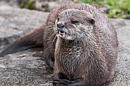 Asian Short Clawed Otter Close Up Teeth Showing