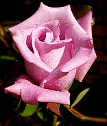 Pink Rose with the Morning Dew
