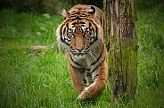 Sumatran Tiger Walking Towards Camera Paw Up