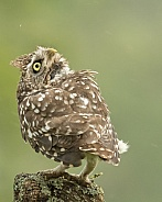 Little Owl