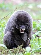 Wooly monkey