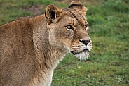 African Lioness - close up