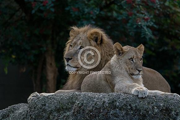 Lion with Lion cub