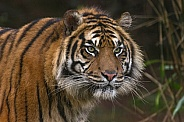Sumatran Tiger Focused and Staring