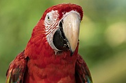 Scarlet Macaw Looking Straight Ahead