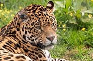 Jaguar Close Up Head Shot