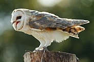 Barn Owl Full Body Side Profile Beak Open