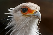 Secretary Bird Face Shot