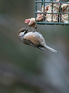 Boreal Chickadee at the Feeder