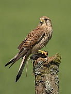 Female Common Kestrel with Prey