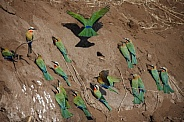 Whitefronted Bee-Eaters - Botswana