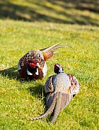 Fighting Pheasants
