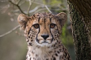 Young Cheetah (Acinonyx Jubatus)