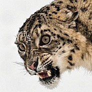 Snow Leopard Portrait