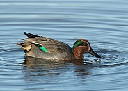 Male Eurasian / Common Teal