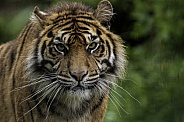 Sumatran Tiger Close Up Face