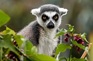 Ring Tailed Lemur Close Up In Tree