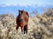 Wild horse in the Nevada desert