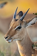 Young male Impala - Botswana