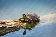 Yellow-Eared Slider Turtle