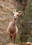 Desert big horned sheep, Ovis canadensis nelsoni