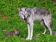 Tundra Wolf and pup